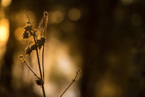 Wild Dry Plant