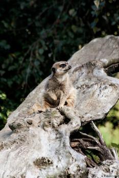 African Lemur