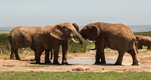Elephants Family, South Africa