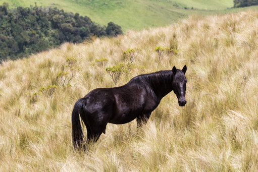 Wild Black Horse, Ecuador