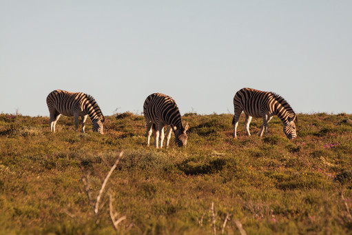 Zebras Family, South Africa