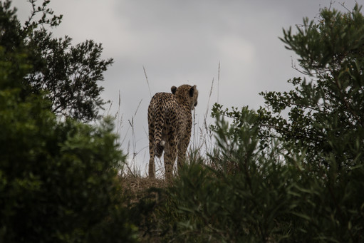 Cheetah,-South-Africa