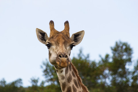 Portrait of a Giraffe