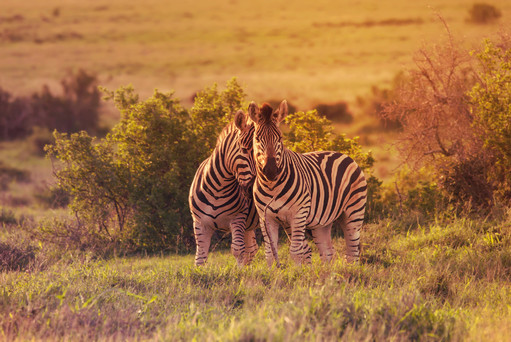 Zebras in Love
