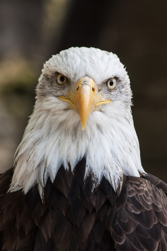 Portrait of the Eagle