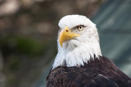 Portrait of the Eagle