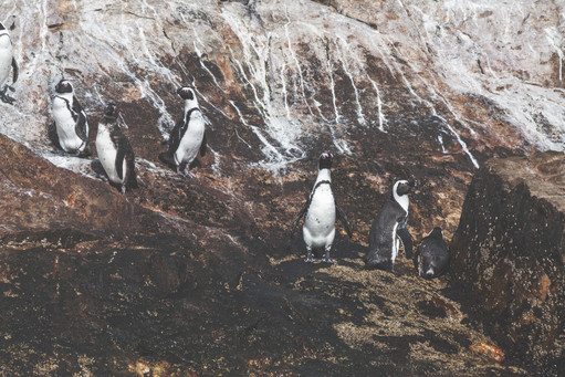 Wild Penguins