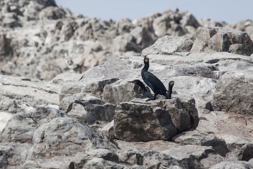 Wild birds on the rocks