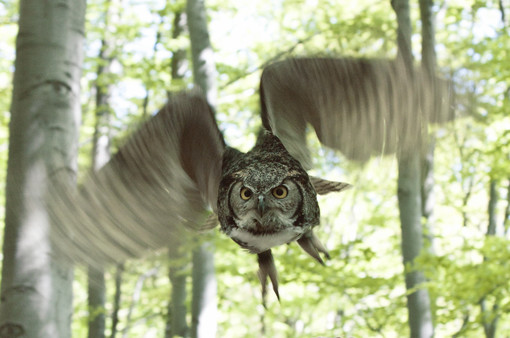 Flying Owl in the Forest