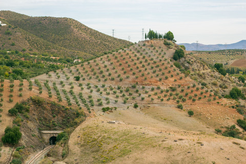 Olive Orchard, Andalusia, Spain