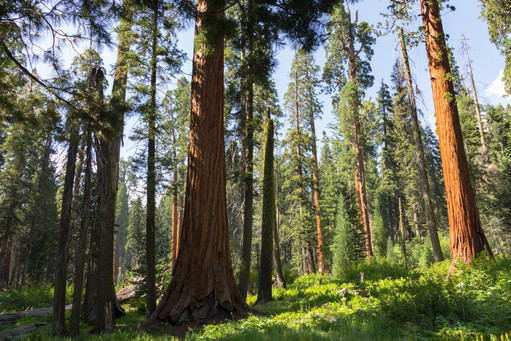 Big Trees in Sequoia National Park