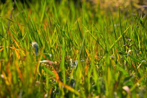 Green Wild Grass