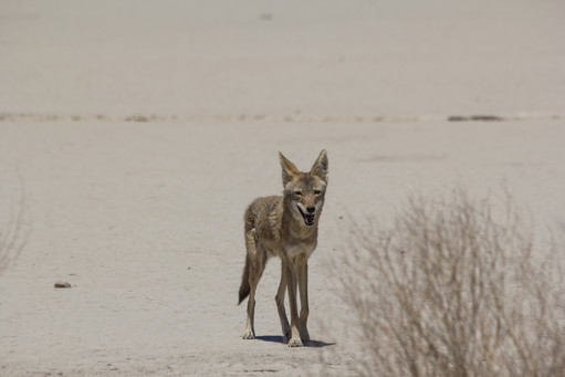 Coyote In Death Valley National Park California