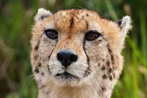 Cheetah Portret