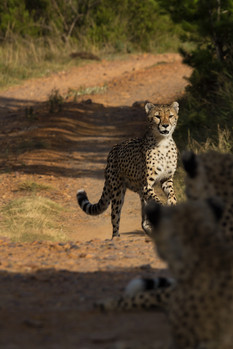 Cheetah, South Africa