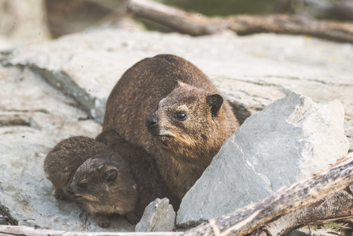 African Hyrax