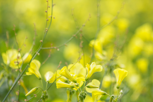 Yellow-spring-flowers