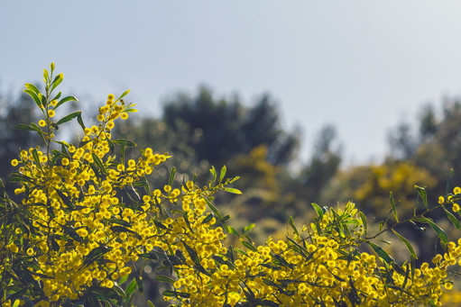 Yellow spring bush