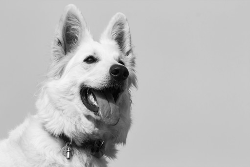 White Dog In Black&White
